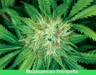 Видеогалерия медицинска марихуана-канабис
